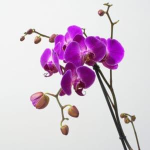5236965959 92553513c3 z 300x300 Orchidej jako součást moderního bydlení