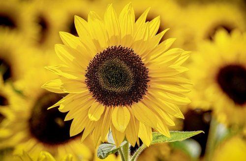 Jaké jsou ty nejkrásnější květiny vhodné na rande? 4