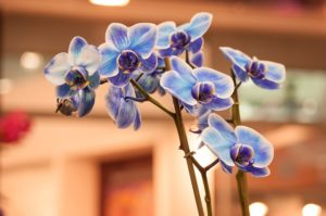 orchidea 300x199 Květinový horoskop – 4. Díl